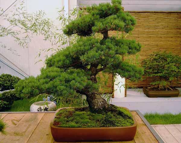 Bonsai: coltivazione e cura