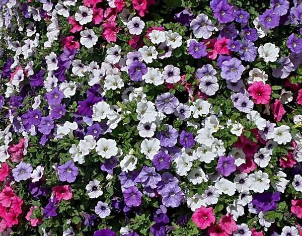Petunia: coltivazione e cura