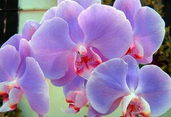 Orchidee: coltivazione e cura