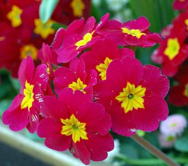 Primule guida completa alla coltivazione e cura for Tipi di fiori