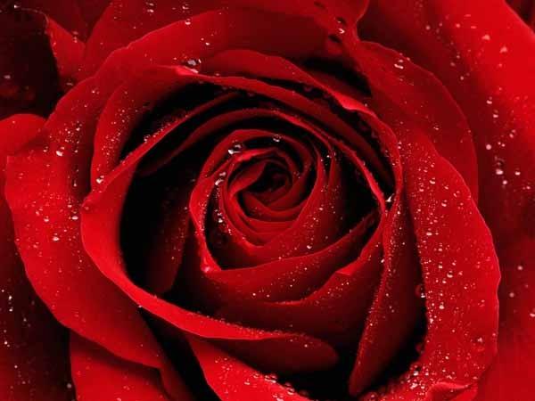 Rose: coltivazione e cura