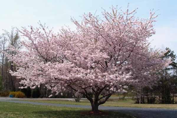 Potare il ciliegio for Pianta di ciliegio
