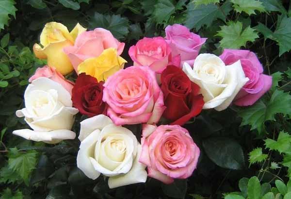 Periodo Per Potare Le Piante : Potare le rose guida completa