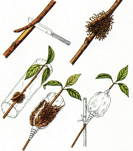 propagazione delle piante per margotta
