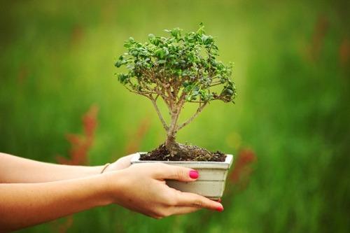 Come curare il bonsai - Cura dei bonsai in casa ...