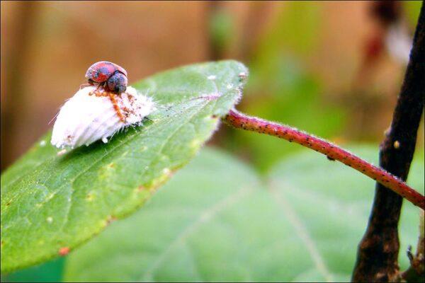insetti buoni e utili all'orticoltura
