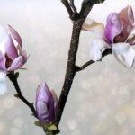 Magnolia: tutto quello che c'è da sapere