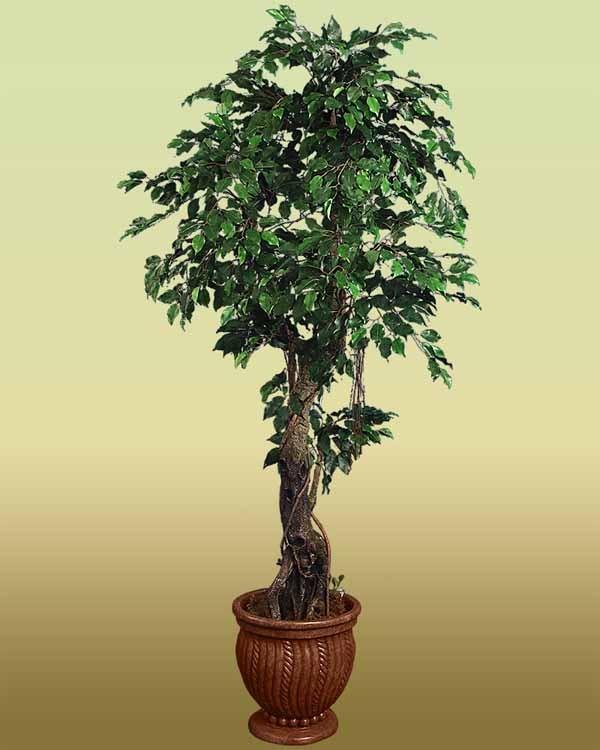 Ficus Benjamin Guida Completa Alla Coltivazione E Cura