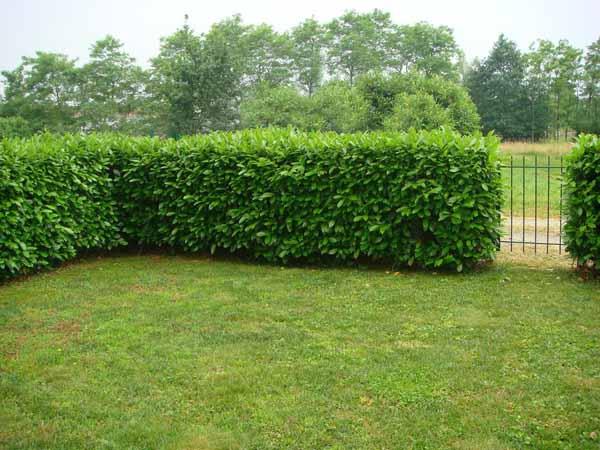 Siepi Da Giardino Fiorite : Siepe da giardino coltivazione cura e potatura