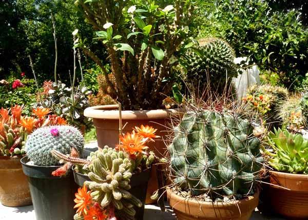 Rinvasare piante grasse guida completa a come fare for Piantine da esterno