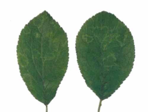 Virus delle piante