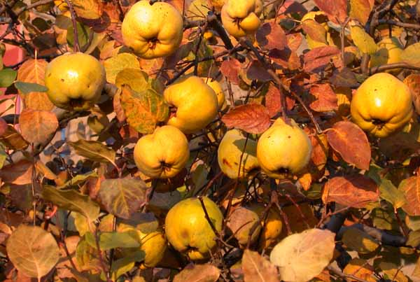 Frutteto in ottobre: lavori da fare