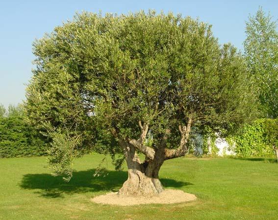 Coltivare l 39 olivo for Arboles de hoja perenne sin fruto