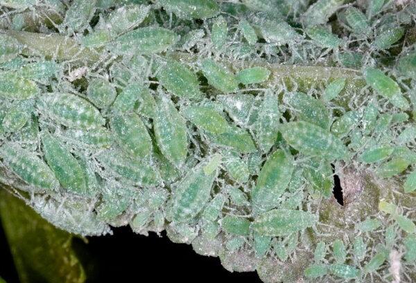 Afide farinoso (Hyalopterus pruni)