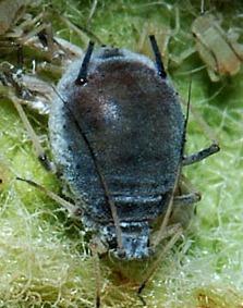 Afide grigio (Dysaphis plantaginea)