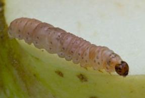 668. Carpocapsa (Cydia pomonella) PICCOLA