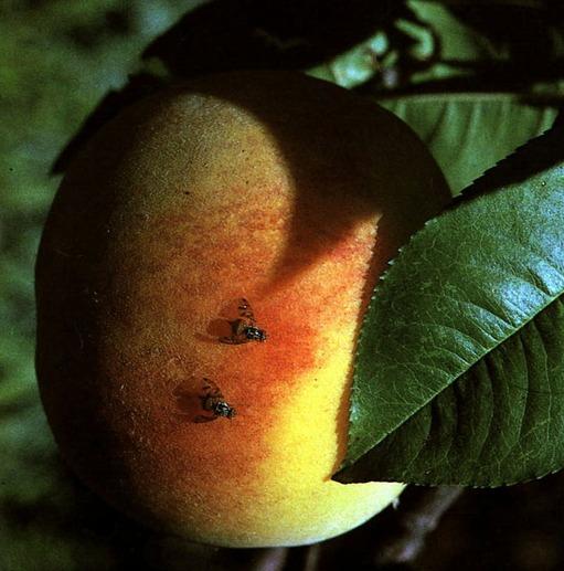 Mosca della mela