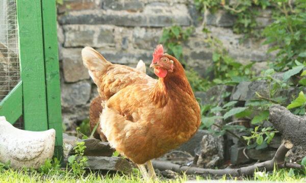 Come allevare la galline in pollaio